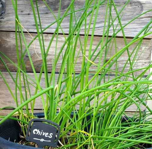 Home Grown Chives