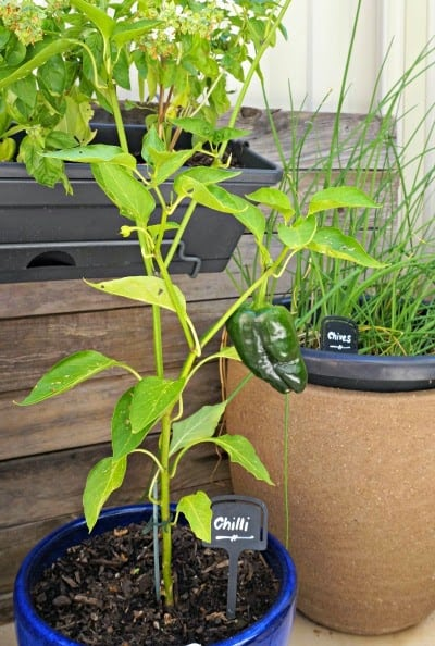 Chilli Plant -tips for a rustic herb garden