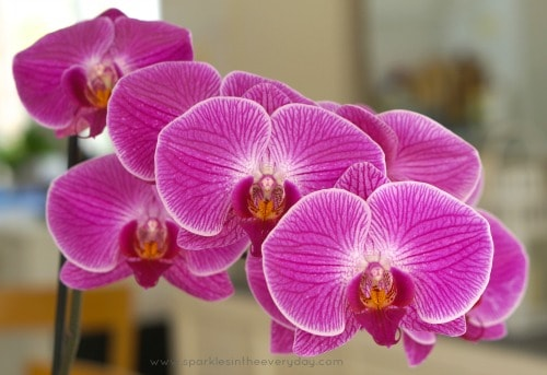 Beautiful and Vibrant Moth Orchid