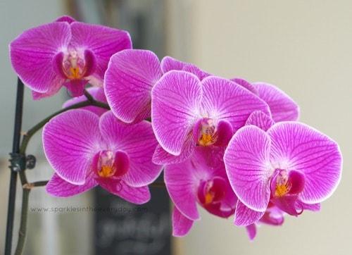 Moth Orchid 'PHALAENOPSIS'