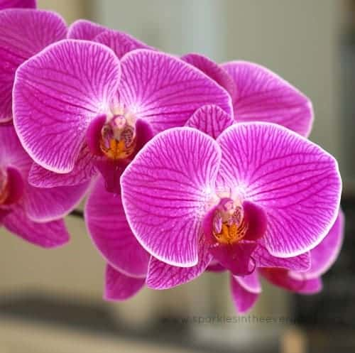 Moth Orchid - such beauty and inspiration