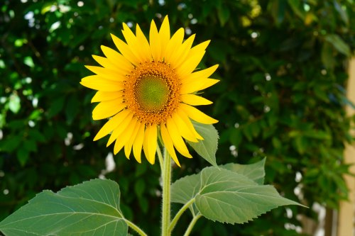 Happy sunflower and wellness