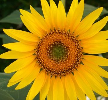 sunflower - Sparkles In The Everyday!