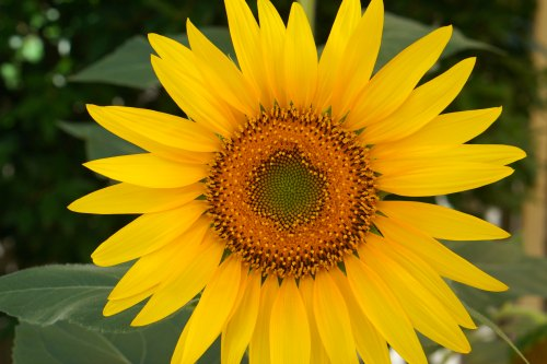 Sunflower - Sparkles In The Everyday! Wellness
