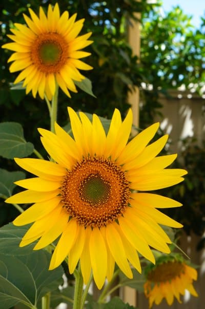 Sunflowers and wellness