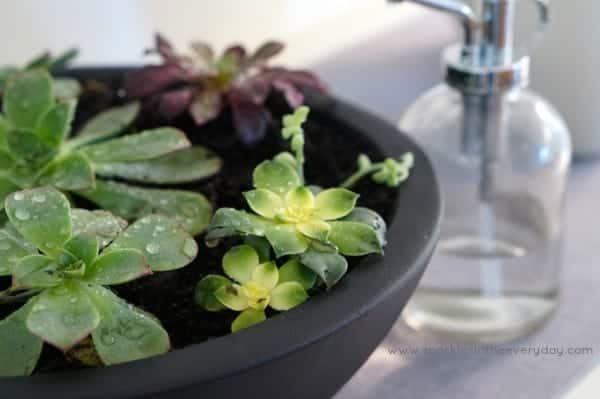 Misting Bottle - The Tips to Growing Succulents Inside!