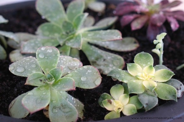 The tips to Growing Succulents Inside - Size!